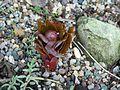 Paeonia cambessedesii x molokosewitschii bud - Flickr - peganum.jpg