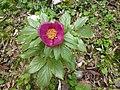 Paeonia mascula subsp. russi.jpg