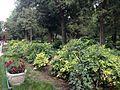Paeonia suffruticosa in Jingshan Park.jpg