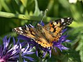 Painted Lady (Cynthia cardui) on garden knapweed - geograph.org.uk - 584916.jpg