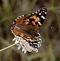 Painted Lady Cynthia cardui 1 (3822024265).jpg