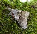 Pale Tussock. Calliteara pudibunda (22383316298).jpg