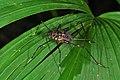 Panama orthoptera (9546105653).jpg
