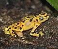 Panamanian Golden Frog 12.jpg