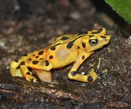 Panamanian Golden Frog 12