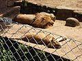 Panthera leo, Parque Zoológico de Sapucaia do Sul, Brazil.jpg