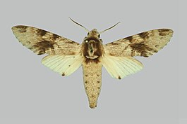 Pantophaea jordani BMNHE274208 male up.jpg