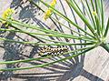 Papilio zelicaon caterpillar on fennel flower head.jpg