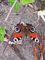 Papillon - 3.jpeg