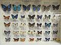 Papillons , famille des Lycaenidae.jpg
