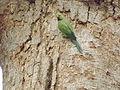 Parakeet at Giza Zoo by Hatem Moushir 39.JPG