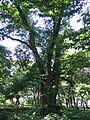 Park w Mlodojewie - lipa drobnolistna.jpg