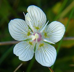 梅花草 Parnassia palustris