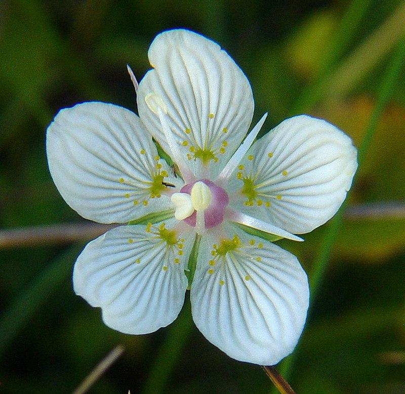 Parnassia palustris.JPG
