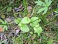 Parnassia palustris3.jpg