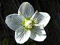 Parnassia palustris (7993744903).jpg