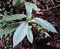 Parsonsia inodora 02.jpg