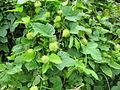 Passiflora foetida - മൂക്കളപ്പഴം 04.JPG