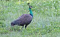 Pavo cristatus (Indian Peafowl) 21.jpg