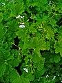 Pelargonium odoratissimum 001.JPG