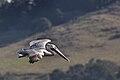 Pelecanus occidentalis -Point Lobos, California, USA -flying-8.jpg