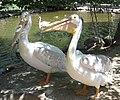 Pelicans at zoo2.jpg