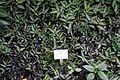 Pellionia repens - Botanischer Garten - Heidelberg, Germany - DSC00992.jpg