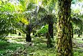 Perkebunan kelapa sawit milik rakyat (34).JPG
