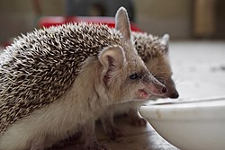 Pet Paraechinus aethiopicus (Desert Hedgehog) from the Kurdistan Region of Iraq, at lunchtime 10.jpg