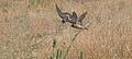 Petrochelidon fulva Carlsbad.jpg