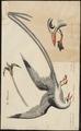 Phaëton flavirostris - 1700-1880 - Print - Iconographia Zoologica - Special Collections University of Amsterdam - UBA01 IZ18000013.tif