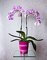 Phalaenopsis cultivar 04 double spike full.jpg