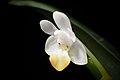 Phalaenopsis lobbii (Rchb.f.) H.R.Sweet, Gen. Phalaenopsis 53 (1980) (25785000617).jpg