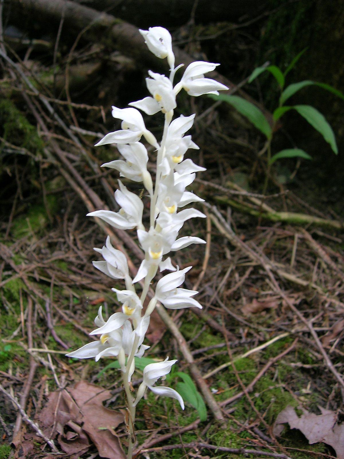 Cephalanthera austiniae - Wikipedia