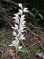 Phantom Orchid Gowlland-Tod2.jpg