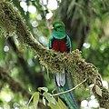 Pharomachrus mocinno Monteverde 18.jpg