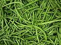 Phaseolus vulgaris, the common green bean.JPG