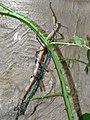 Phasmatidae Achrioptera fallax 2.jpg