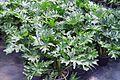 Philodendron bipinnatifidum hatem mouhir.JPG