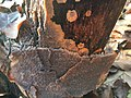 Phlebia radiata 57218071.jpg