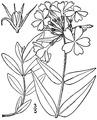 Phlox divaricata L. Wild blue phlox.tiff