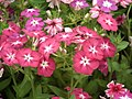 Phlox from Lalbagh flower show Aug 2013 8411.JPG
