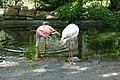 Phoenicopterus ruber roseus Flamingo 02.jpg