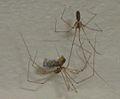 Pholcus phalangioides eating wasp 8.jpg
