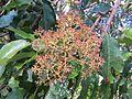 Photinia integrifolia at Mannavan Shola, Anamudi Shola National Park, Kerala (1).jpg
