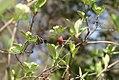 Photinia pyrifolia 1zz.jpg