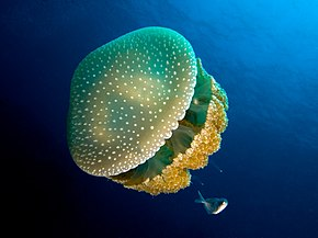 Description de l'image Phyllorhiza punctata (White-spotted jellyfish).jpg.