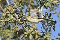 Phylloscopus collybita - Common Chiffchaff, Adana 2016-11-27 01-1.jpg