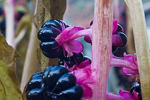 Flower stalk and berries of Phytolacca Americana
