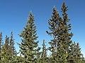Picea engelmannii - Flickr - pellaea (2).jpg